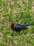Male cowbird Royalty Free Stock Photo