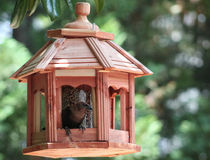 Male Cowbird inside feeder. Royalty Free Stock Photography