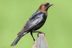 Male Cowbird On A Perch Stock Photography