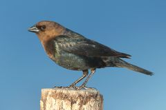 Male Cowbird On A Perch Stock Photo