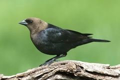 Male Cowbird On A Perch. Male Brown-headed Cowbird (Molothrus ater) on a perch with a green background stock photos