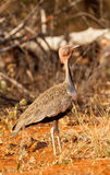 A male Crested Bustard Stock Image