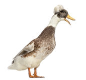 Male Crested Ducks, lophonetta specularioides, standing and quacking Stock Image