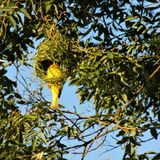 Male crested weaver bird building his nest. A male, crested weaver bird weaves his nest in a tree Royalty Free Stock Photos