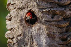 Male Crimson-Crested Woodpecker Peeking out of Tree Nest. A male Crimson-crested Woodpecker pops his head out of the hole that leads to his nest in a dead tree Royalty Free Stock Images