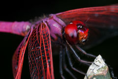 Male crimson dropwing Royalty Free Stock Image