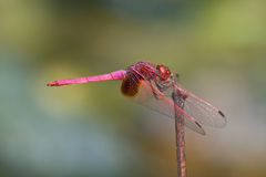 A male crimson dropwing dragonfly Stock Photography
