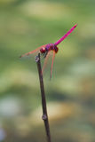 A male crimson dropwing dragonfly Royalty Free Stock Photography