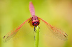 Male Crimson Dropwing dragonfly Royalty Free Stock Image