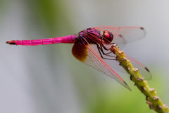 Male Crimson Marsh Glider. (Trithemis aurora&#x29 Stock Photography