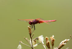 Male Crimson Marsh Glider (Trithemis aurora) Royalty Free Stock Photography