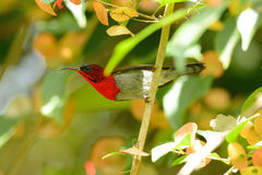 Male Crimson Sunbird (Aethopyga siparaja). Beautiful male Crimson Sunbird (Aethopyga siparaja) in Thai forest Royalty Free Stock Images