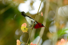 Male Crimson Sunbird (Aethopyga siparaja) stock photo