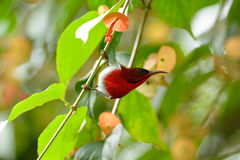Male Crimson Sunbird (Aethopyga siparaja) stock images