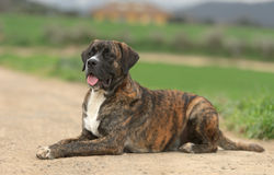 Male Crossbreed dog of Labrador and Boxer. Laying down in a park Stock Images