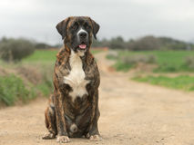 Male Crossbreed dog of Labrador and Boxer. In a pathway Royalty Free Stock Photo