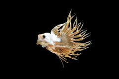 Male crown tail Betta fish Royalty Free Stock Image