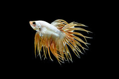 Male crown tail Betta splendens or siamese fighting fish Stock Photos