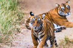 Male Cub of Royal Bengal tiger Stock Images