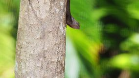 Male Cuban Anole attempting to attract a mate. stock video footage