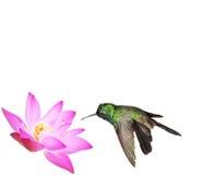 Male Cuban emerald hummingbird Stock Images