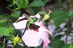 Male Cuban emerald hummingbird Royalty Free Stock Image