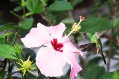 Male Cuban emerald hummingbird(Chlorostilbon ricordii) Stock Photography