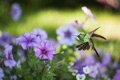 Male Cuban emerald hummingbird Royalty Free Stock Photos