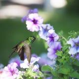 Male Cuban emerald hummingbird Royalty Free Stock Photo