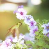 Male Cuban emerald hummingbird Stock Photos