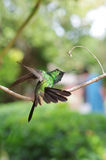 Male Cuban emerald hummingbird (Chlorostilbon ricordii) landing Stock Photos