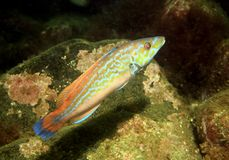 Male Cuckoo Wrasse. (Labrus mixtus) in the South Arran Marine Protected Area, Isle of Arran, Scotland royalty free stock image