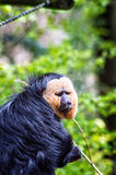 Male curious Saki. The white-faced saki (Pithecia pithecia), also known as the Guianan saki and the golden-faced saki, is a species of saki monkey, a type of New Royalty Free Stock Photography