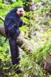 Male curious Saki Royalty Free Stock Photo