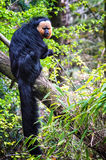 Male curious Saki. The white-faced saki (Pithecia pithecia), also known as the Guianan saki and the golden-faced saki, is a species of saki monkey, a type of New Royalty Free Stock Image