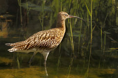 Male Curlew Royalty Free Stock Image
