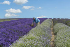 A male cutting lavender flowers in lavender field. A male collecting lavender flowers in lavender field in the summer stock images