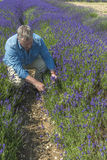 A male cutting lavender flowers in lavender field Stock Photos