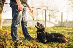 Male cynologist with service dog, training outside. Owner with his obedient pet outdoor, bloodhound domestic animal Stock Photos