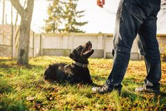Male cynologist with service dog, training outside. Owner with his obedient pet outdoor, bloodhound domestic animal Stock Photo