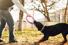 Free Male Cynologist Work With Trained Police Dog Stock Photography - 107800222