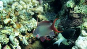 Male Daisy parrotfish Chlorurus sordidus is looking for food among the corals in Red Sea stock video