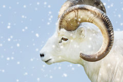 Male dall sheep. Portrait of a male Dall sheep, Ovis dalli, on a snowy day Stock Photo