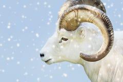 Male dall sheep Stock Photo