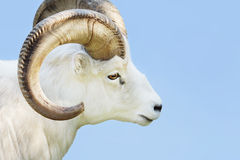 Male dall sheep. Portrait of a male Dall sheep, Ovis dalli, on a snowy day Royalty Free Stock Image