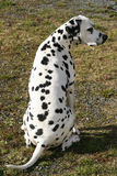 Male Dalmatian sitting stock images