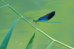 Damselfly. A male damselfly Scientific name: Mnais mneme stands on reed stem Stock Photos