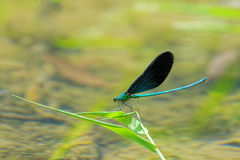Damselfly. A male damselfly stands on reed leaf. Scientific name: Mnais mneme Stock Photo