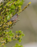 Male Dartford Warbler Royalty Free Stock Photography