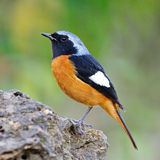 Male Daurian Redstart. Colorful orange bird, male Daurian Redstart (Phoenicurus auroreus), standing on the rock, side profile Royalty Free Stock Photo